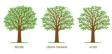 crown thinning diagram