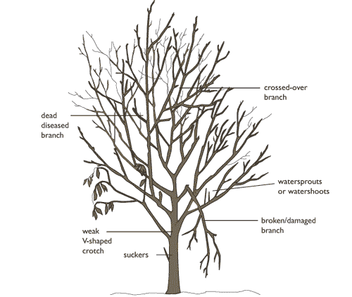 dead branch removal diagram