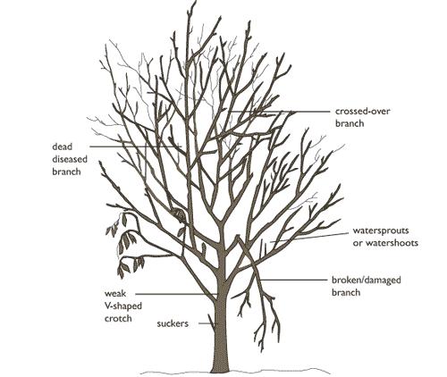 dead branch removal diagram