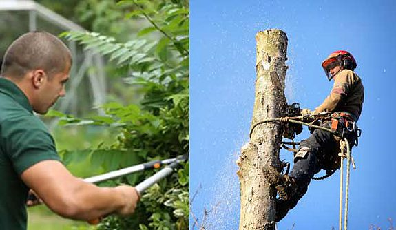arborist in tree vs gardner with hedgers