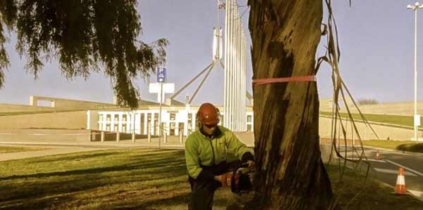 tree removal parliment house Canberra