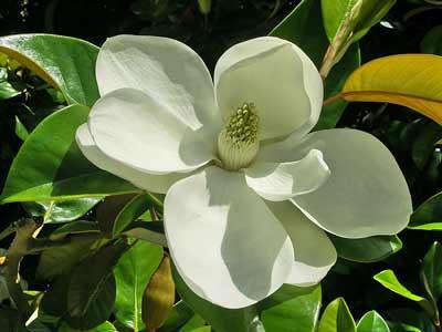 Ficus elastica flower