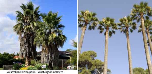 Cotton Palm - Washingtonia filifera