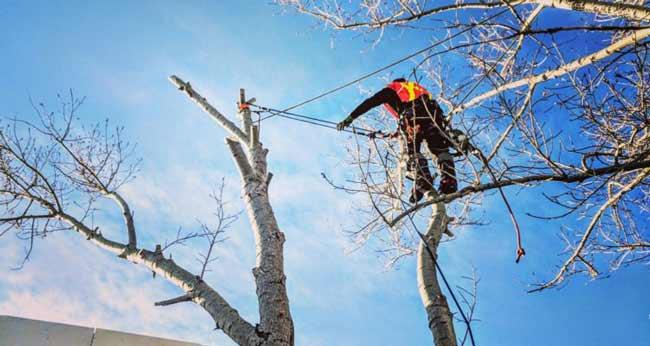 arborist-trimming-a-tree