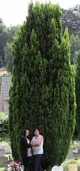 large-conifer-tree