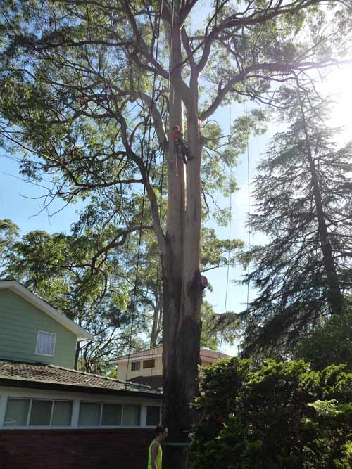 cuting-down-a-large-tree