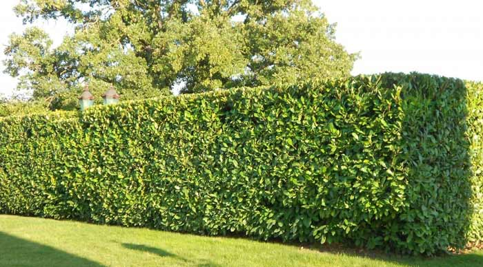 hedge-freshly-trimmed