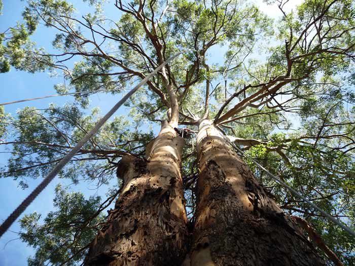 large-tree-removal-rigging