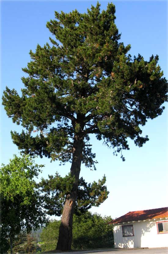 radiata-pine-tree-trim-cost-example