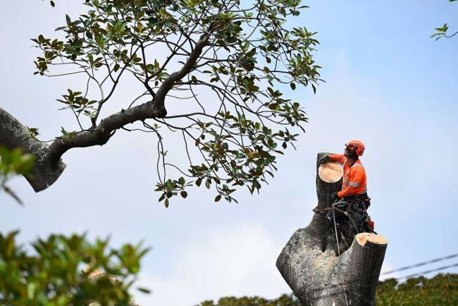 council-give-ok-to-remove-large-fig-tree