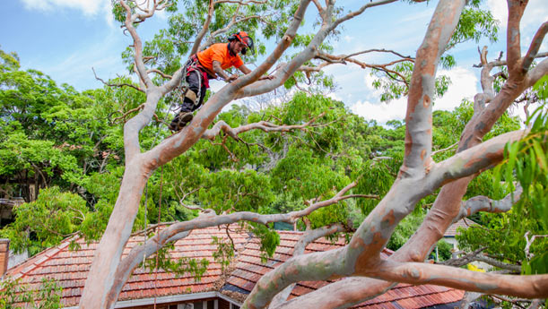 red-gum-tree-removal-sydney