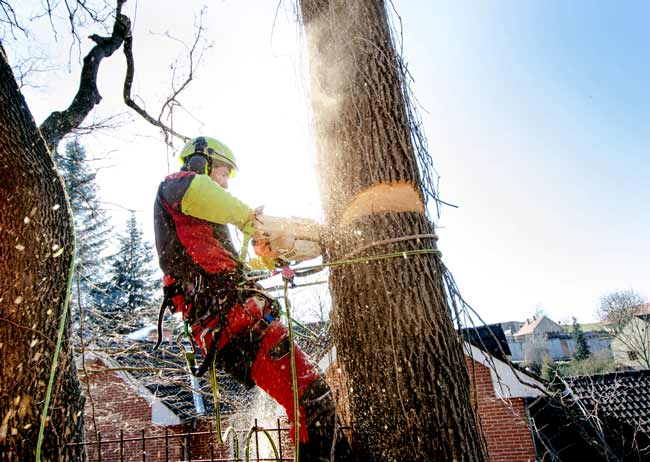 qualified-arborist-in-adelaide-removing-a-tree2