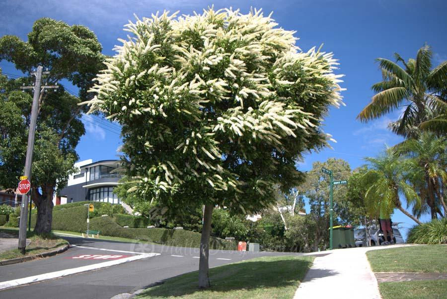 street-tree-brisbane