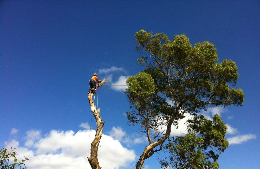tree-removal-banyule-council-victoria2