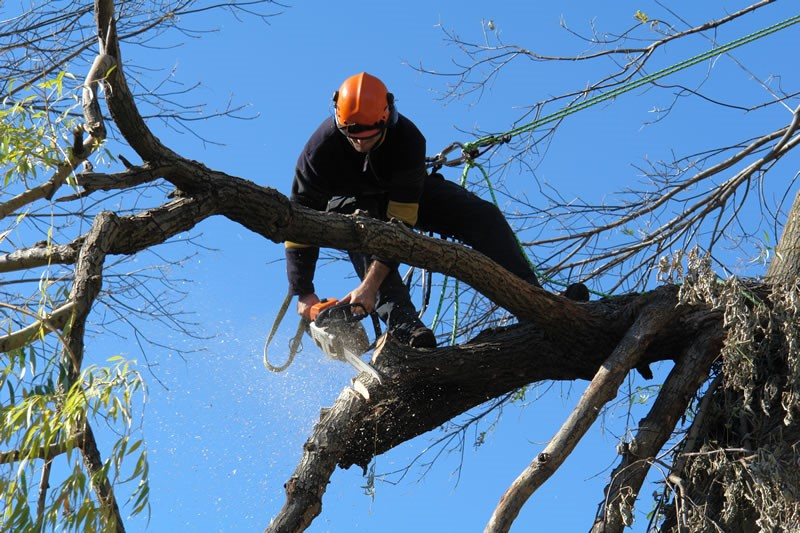 tree remocal Pittwater Council man using power saw on a tree