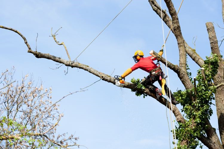 tree removal Canterbury Bankstown tree remover on a tall tree