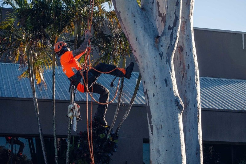 tree removal Ipswich council man climbing a tree