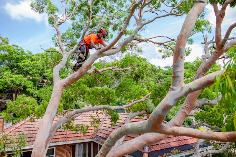 tree removal Leichhardt Council arborist on a tree