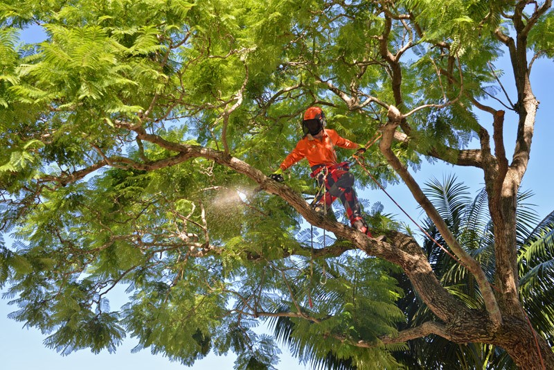 tree removal Liverpool Council expert man on a tree