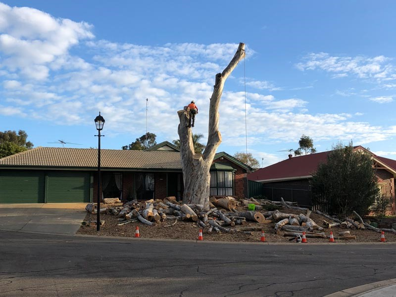 tree removal Norwood Payneham And St Peters Council a huge tree outside a home