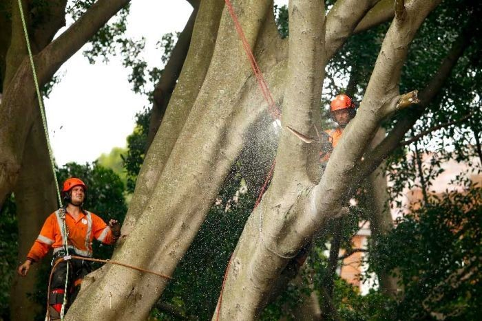 tree removal Sydney council tree services workers