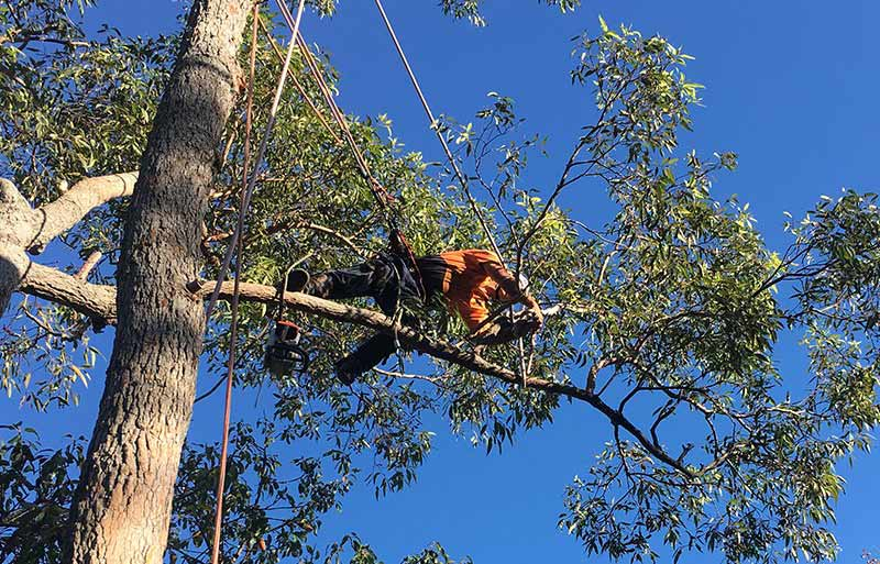 tree-removal-cessnock-council-an-arborist-on-a-tall-tree2