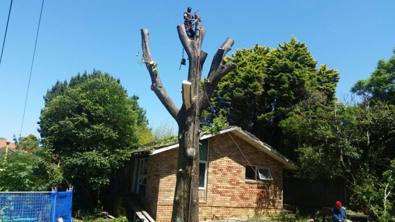 tree removal lane cover council a tall tree over a house