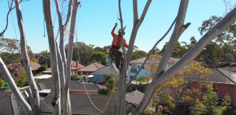 tree-removal-lane-cover-council-man-on-a-tree