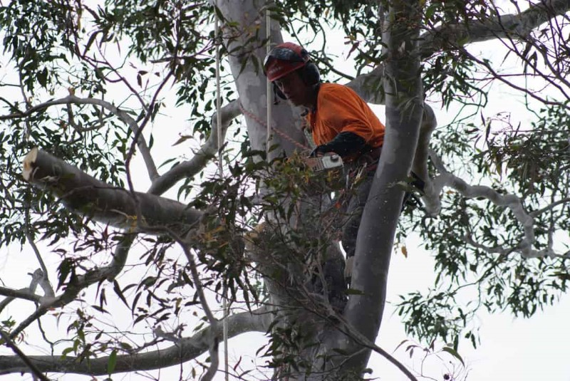 tree removal marrickville council tree remover on a tree
