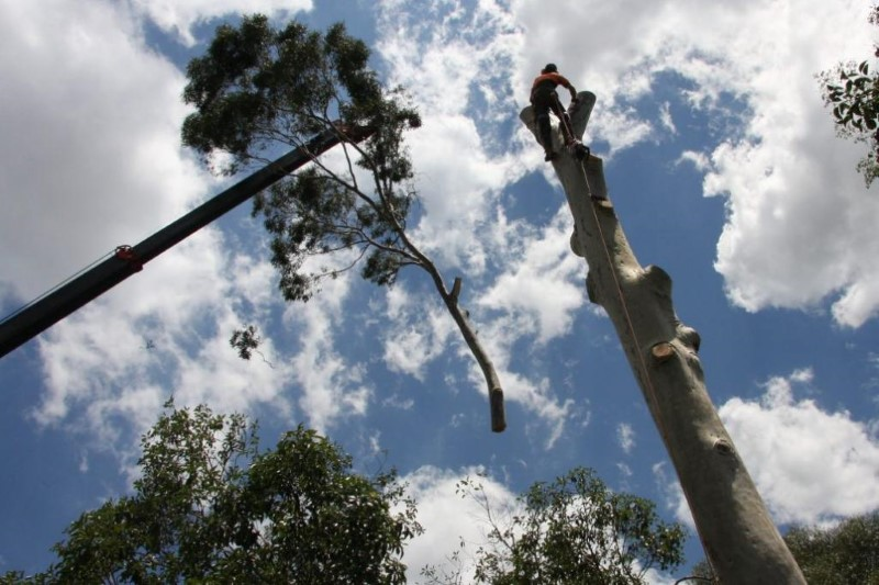 tree removal sutherland shire council tall tree