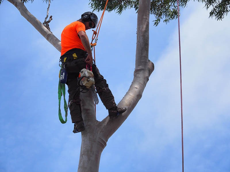 tree removal unley council man on a tree with a chainsaw