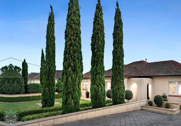 4-pencil-pine-tree-in-front-yard